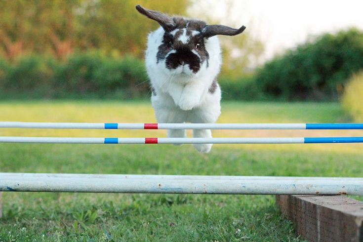 My Holland Lop rabbit jumping back in 2013. http://ift.tt/2kgze4S