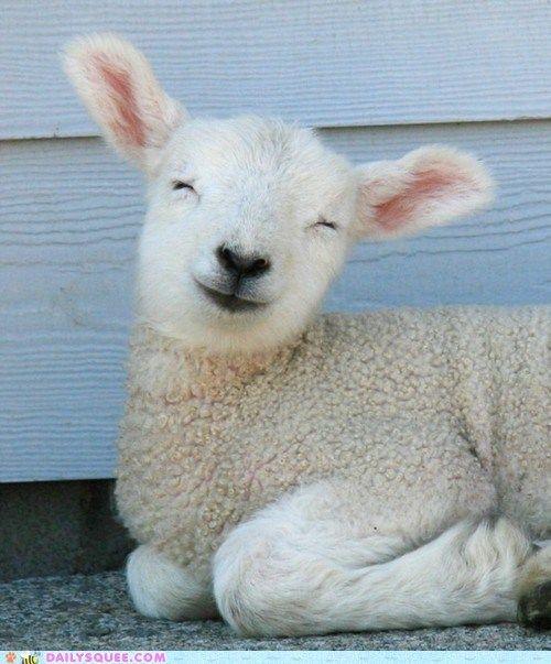 Smiley Sheep ooit een schaapje gezien dat lacht? ik wel (nu dan)