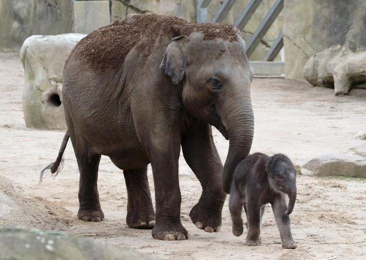 die besten 17 ideen zu elefanten bilder auf pinterest elefantenbabys elefanten und elefanten. Black Bedroom Furniture Sets. Home Design Ideas