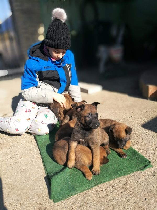 Belgian Malinois Protection Dog For Sale Mrazovac K9 Provides Only The Highest Quality Trained Family Prote Belgian Malinois Dogs For Sale Malinois