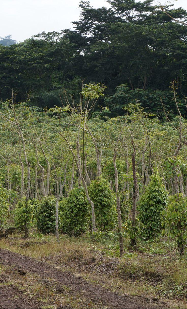 TERRE EXOTIQUE : Penja, Cameroun (plantation de poivre)