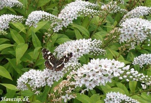 hvid fredløs med sommerfugl