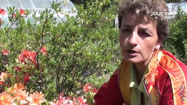 """Рододендроны  Как добиться пышного  цветения. Сайт """"Садовый мир"""""""""""