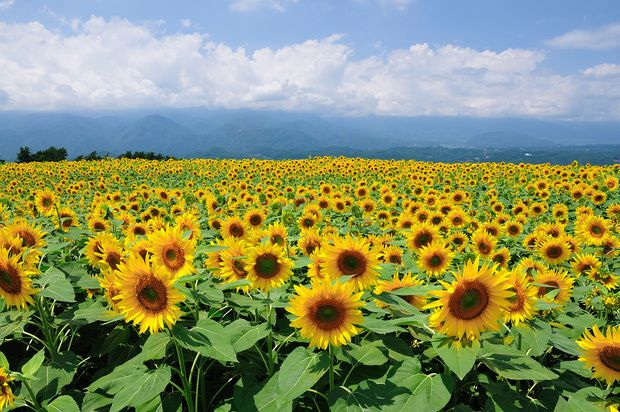 Sunflowers in Sunny Weather -             Fototapeter & Tapeter -           Photowall