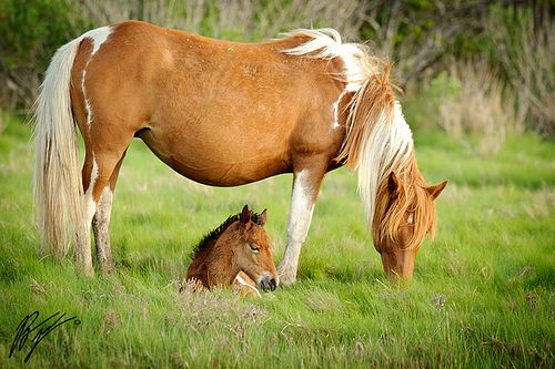 17 Best Images About Chincoteague Ponies On Pinterest