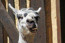 Lama, Kopf, Gesicht, Ohren, Zoo