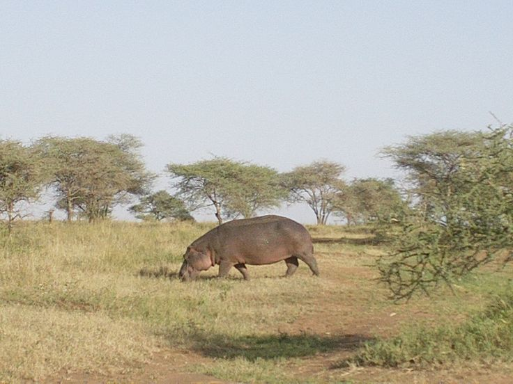 One of the most dangerous wild animal( hippo), Photo taken by African Trekk and Safaris