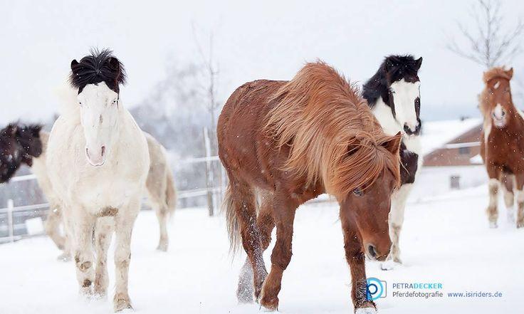Islandpferde im Schnee,islandic horses #Islandpferde, #snow  copyright www.isiri…
