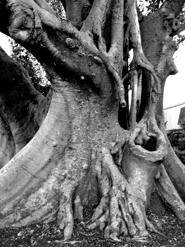 Marsupial Moreton Bay Fig outside Marrickville Metro. By Natalie Hitoun Photography.
