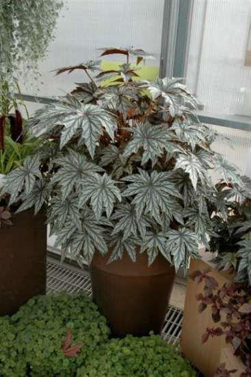 Бегония Грифон  Источник: http://floral-city.ru/begonii-vidy-i-sorta-uxod-i-foto.html
