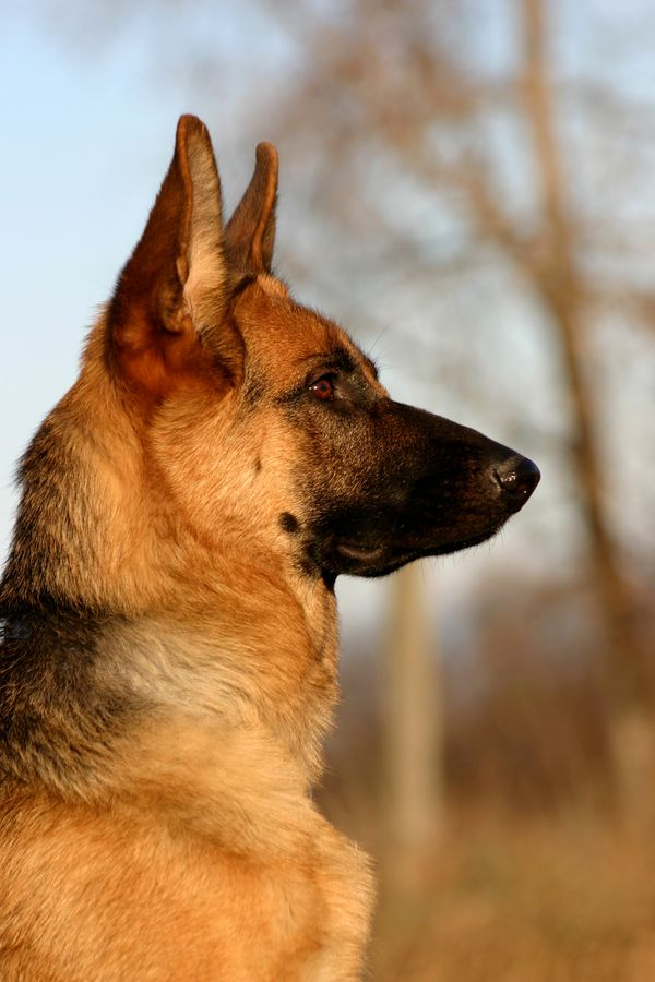 Best THE German Shepherd Images On Pinterest Cat Dog And - Dora german shepherd
