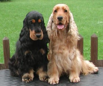 Cocker Spaniels are the best dogs ever. I sure do miss mine. R.I.P. Buffy and Bingo. <3