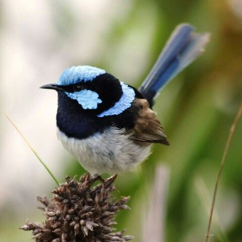 Beautiful blue wren spotted at the Bay of Fires. #discovertasmania #bayoffires