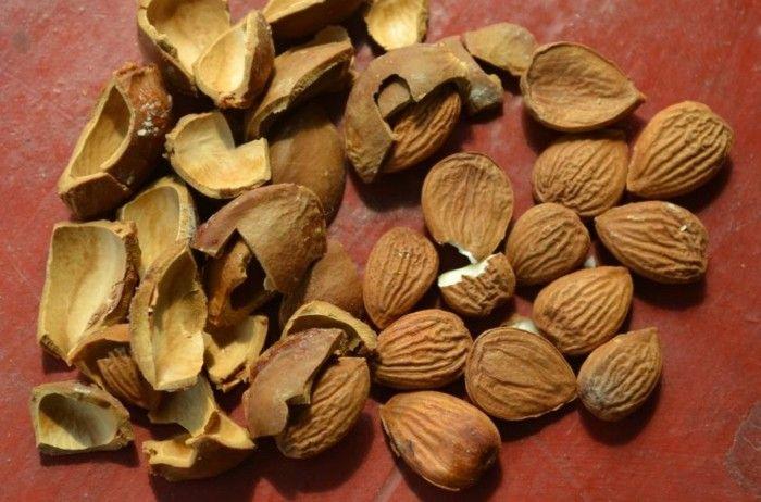 aprikosenkerne12