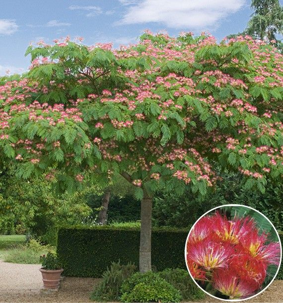 25 best ideas about albizia arbre on pinterest albizia for Briant plantes