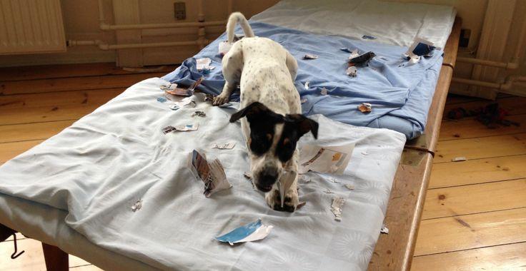 Hundens udviklingsfaser - DogCoach - online hundetræning