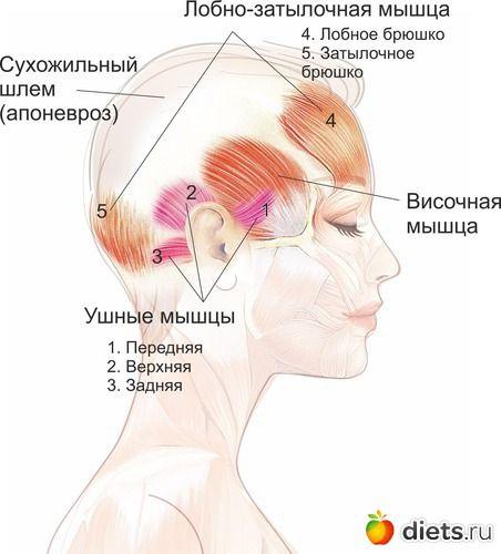 Мышцы свода черепа и их роль для сохранения подтянутого лица