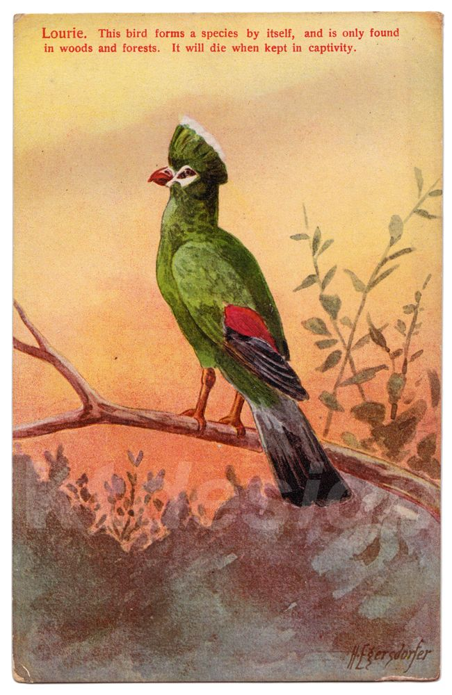 Lourie. This bird forms a species by itself, and is only found in woods and forests. It will die when kept in captivity. Vintage postcard from the Animal Series V, 1.