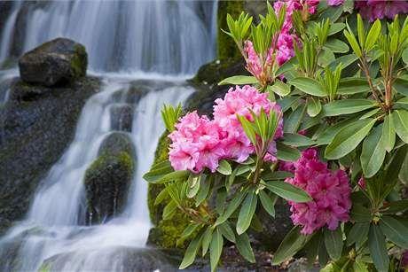 Rododendrony mají rády mírný stín.