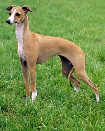 Italian Greyhound   Italian greyhound dog, Dog breeds ...