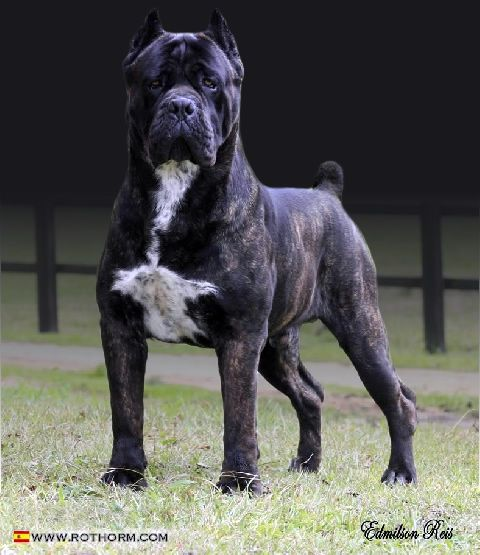 An old Roman breed. A strong breed with a big heart and a lovable personality, the Cane Corso.