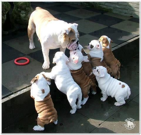 'Now be good at Nursery today, won't you' - English Bulldog Mum Kissing her Brood of Puppies goodbye