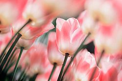 The Beauty of Flowers: Natural Wonder, Pink Flowers, Pink Power, Things Pink, Pretty Beautiful, Beautiful Flowers, Luv Pink, Beautiful Things, White Tulip