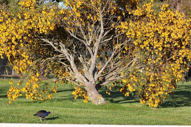 Pūkeko under a Kowhai Tree by kiwi photo lover, via Flickr