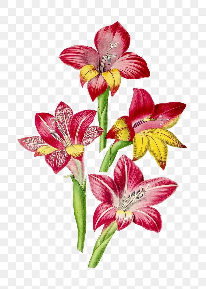 Hand Drawn Red Gladiolus Flower Design Element Free Image By Rawpixel Com In 2020 Gladiolus Flower Red Peonies Design Element