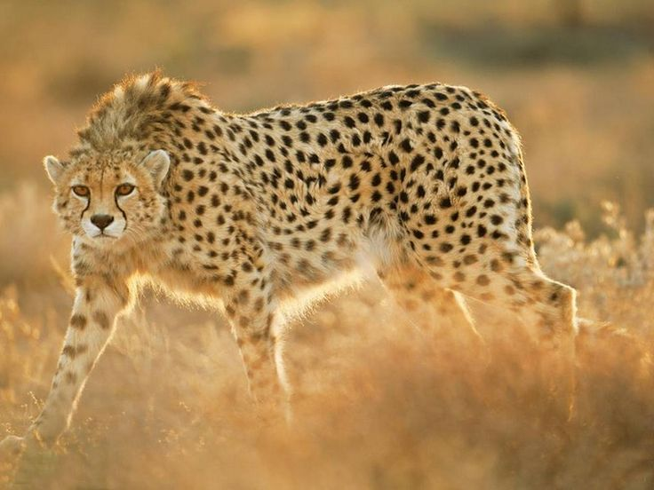 Asiatic Cheetah (Acinonyx jubatus venaticus): Current range is in Iran, Pakistan and Afghanistan. Description from smeegly.com. I searched for this on bing.com/images