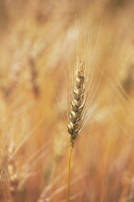 Wheat Head by Carson Ganci