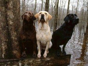 3-labrador-jaune-marron-noir