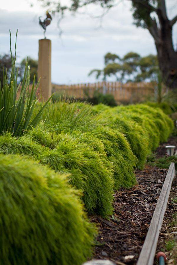 Acacia 'Limelight' • Great for hedging and borders • Superb performer for tubs and containers • Mass planted for stunning lush effect • Hardy for commercial landscape applications