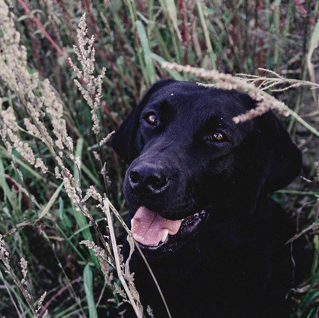Happy Weekend Wir Starten Heute Schon Ins Wohlverdiente Wochenende Nachste Woche Hab Ich Sogar Urlaub Labrador Retriever Labrador Dogs