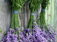 #Lavendel #provence #kruiden #kweken #tuin #karelhendriksen #tuincentrum #KH_TC