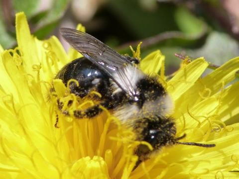 Ashy Mining Bee: Andrena cineraria | Nature Notes from Dorset