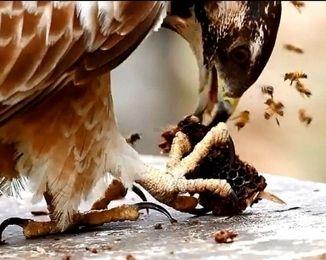 Gironde : fait rarissime, un rapace dévore un nid de frelons asiatiques
