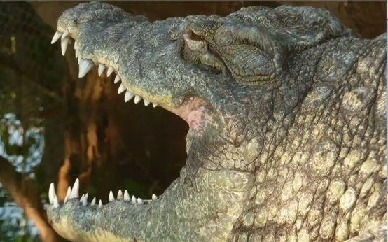 Os maxilares de um crocodilo de água salgada contêm de 64 a 68 dentes aguçados, e são movidos por músculos poderosos. Lolong morreu por problemas digestivos, com aproximadamente 50 anos de idade. Os animais de sua espécie costumam viver 100 anos.