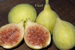Excel Fig.  Medium sized, yellow fruit with amber pulp. Sweet rich flavor. Resistant to splitting even under adverse conditions. Superb, all purpose fig. Introduced in 1975. Considered very hardy