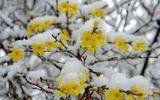 Winterjasmin Jasminum nudiflorum