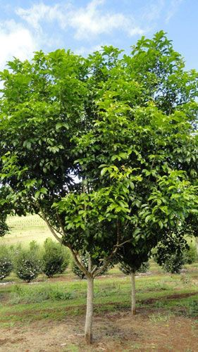 tulipwood tree 6-10m good for shade, grows well in qld, plant one next to pool decking to provide shade from western sun-Mon