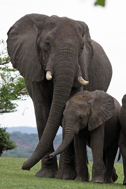 Asian elephant vs African elephant | Anatomy of an Elephant ...