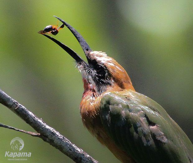 Bee eater Bird - Kapama has over 350 bird species