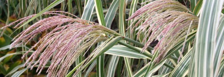 Plant Ident - Miscanthus sinensis var. condensatus 'Cosmopolitan'