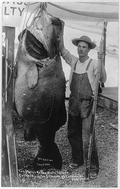 The world's record black sea bass caught by John I. Perkins, Catalina Island. Photograph, July 3, 1905. Miscellaneous Items in High Demand, Library of Congress Prints and Photographs Division.