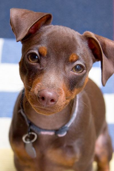 miniature pinscher, min pin AWE!!!
