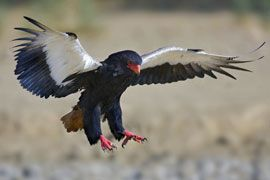 The Bateleur Eagle. Birds of a feather. Beautiful Creatures of Nature. Safari. Wildest africa. Wildlife photography. Out of africa. Beautiful africa. Living on the wild side.