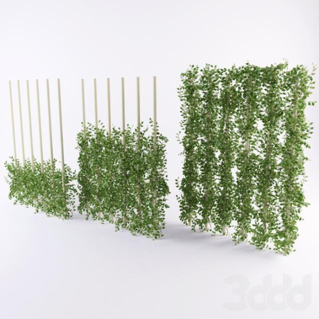 Растение плющ