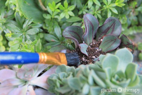Use a paintbrush to remove soil from succulent leaves when planting