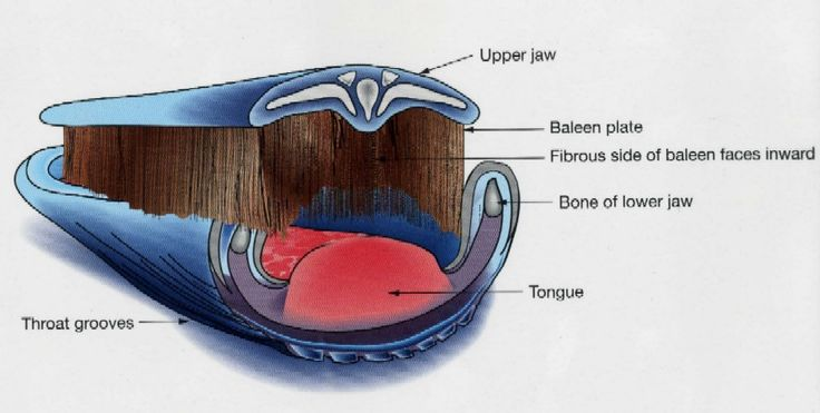 Humpback Whale Anatomy Diagram